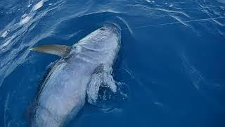 Tuňáček u lodi +- 100kg