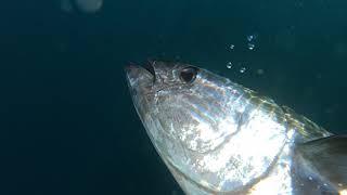 Pouštěčka tuňák
